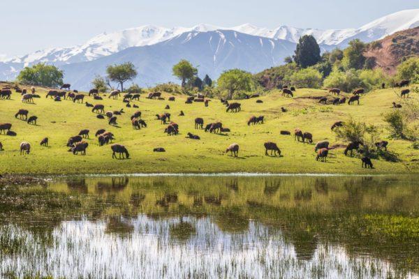 Montagne e le pecore in Uzbekistan